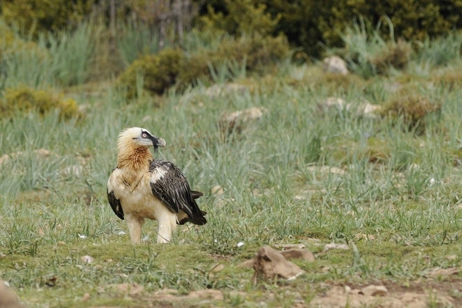 A bearded vulture