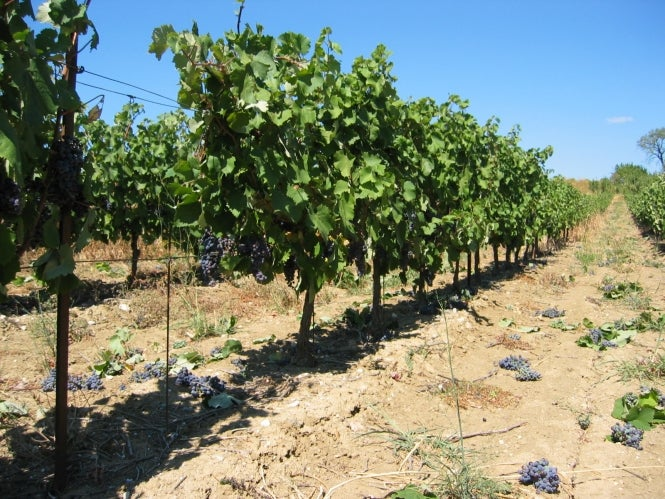 Well-kept grape vines